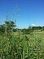 Brachypodium pinnatum sl2.jpg