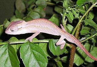 Black-headed dwarf chameleon species of reptile
