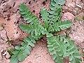Brassica tournefortii.jpg