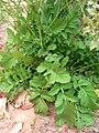 Brassica tournefortii 3.jpg
