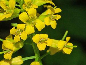 Barbarea vulgaris - Close-up on flowers of Barbarea vulgaris
