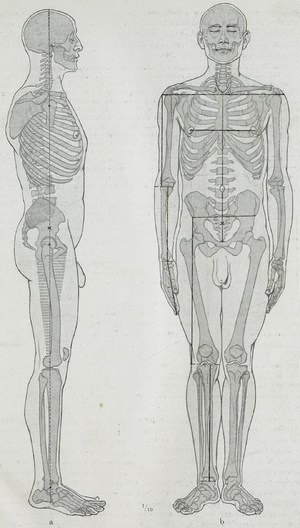 Body proportions - Human proportions marked out in an illustration from a 20th-century anatomy text-book. Hermann Braus, 1921