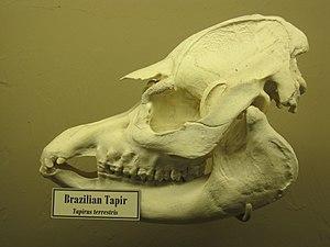 South American tapir - Brazilian Tapir skull, on display at the Museum of Osteology, Oklahoma City, Oklahoma.