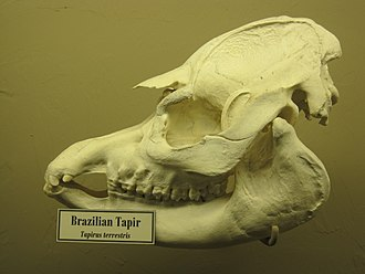 South American tapir - South American tapir skull, on display at the Museum of Osteology, Oklahoma City, Oklahoma.