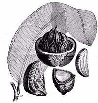 Brazilnut1