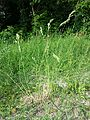 Bromus hordeaceus subsp. hordeaceus sl2.jpg