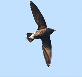 Brown-backedNeedletail.jpg