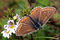 Brown argus (aricia agestis) male.jpg
