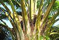 Buah kelapa sawit (48).JPG