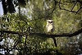 Bubo Sumatranus.jpg
