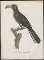 Buceros fasciatus - 1796-1808 - Print - Iconographia Zoologica - Special Collections University of Amsterdam - UBA01 IZ19300107.tif
