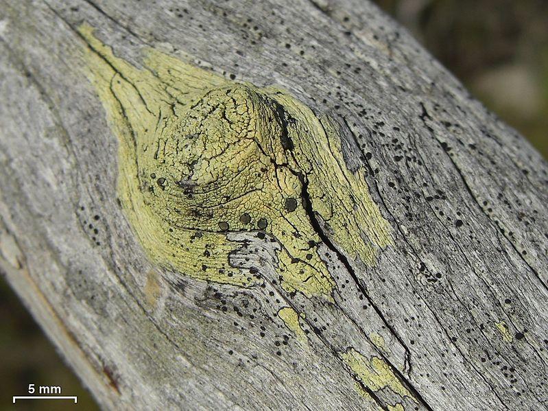 File:Buellia gerontoides - Flickr - pellaea.jpg