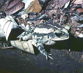 Description de l'image Bufo luetkenii01.jpg.