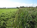 Bullrushes by the A5104 - geograph.org.uk - 1496778.jpg