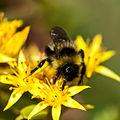 Bumblebee (14549346327).jpg