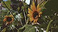 Bunga Matahari.jpg