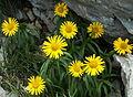 Buphthalmum salicifolium1.jpg