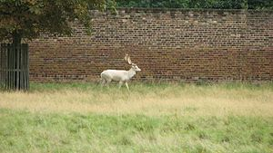 White stag - White stag in Bushy Park.