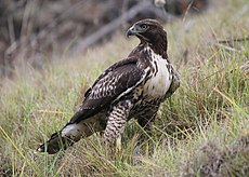 Buteo jamaicensis -Pillar Point Harbor, California, USA-8.jpg