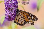 Butterfly (29491858976).jpg