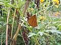 Butterfly Mimicking Moth Tetragonus catamitus (1512965203).jpg
