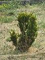Buxus sempervirens - šimšir.jpg