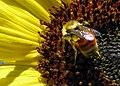 Bzzzzz *nomnomnom sunflower nomnomnom* Bzzz (4981014442).jpg