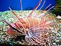 Cá mao tiên (cá sư tử Nha Trang 5).jpg