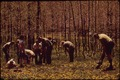 CITIZEN VOLUNTEERS WORK WITH UNITED STATES FOREST SERVICE PERSONNEL TO PLANT HUNDREDS OF SEEDLINGS TO REPLACE THE... - NARA - 545725.tif