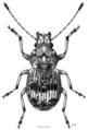 COLE Anthribidae Tribasileus noctivagus f.png