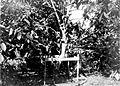 COLLECTIE TROPENMUSEUM Assinan Angoleta cacaokolven met vruchtdracht nadat een gedeelte van de vruchten geplukt is op onderneming Assinan Midden-Java TMnr 10012222.jpg
