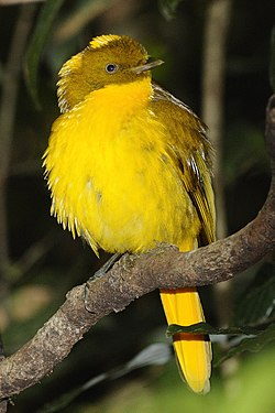 CSIRO ScienceImage 10998 Golden Bowerbird Topaz QLD.jpg