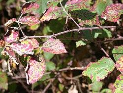 CSIRO ScienceImage 3160 Blackberry plants infected with rust fungus.jpg