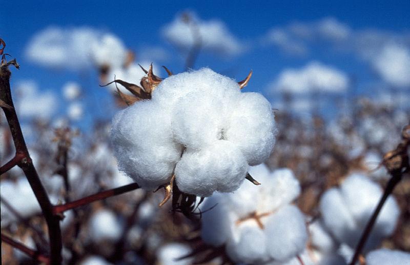 File:CSIRO ScienceImage 3251 Cotton boll.jpg
