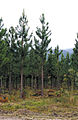 CSIRO ScienceImage 4042 Pine plantation with State forest in background 30 Kms south of Cardwell QLD Queensland forest service project.jpg
