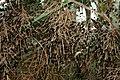 Cabbage Palm.JPG