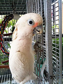 Cacatua goffiniana -pet in cage-8a.jpg