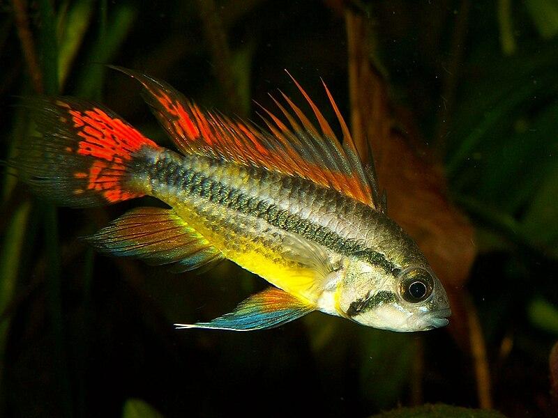 Cockatoo Cichlid