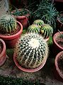 Cactus on the Pots by Sankar.jpg