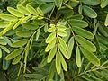 Caesalpinaceae - Senna candolleana (6348813113).jpg