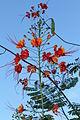 Caesalpinia pulcherrima (11033625413).jpg