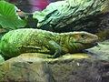 Caiman-lizard-2.jpg