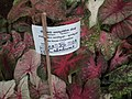 Caladium from Lalbagh garden 8734.JPG