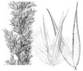 Calamagrostis coarctata (as C. cinnoides) HC-1935.png