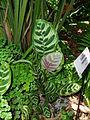 Calathea makoyana.jpg