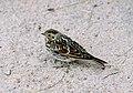 Calcarius lapponicus (female) 1996-07-25.jpg