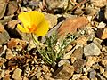California Poppy - Flickr - treegrow (3).jpg