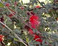 Calliandra californica.jpg