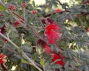Calliandra californica.jpg