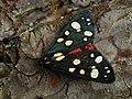 Callimorpha dominula - Scarlet tiger moth - Медведица госпожа (40151941864).jpg
